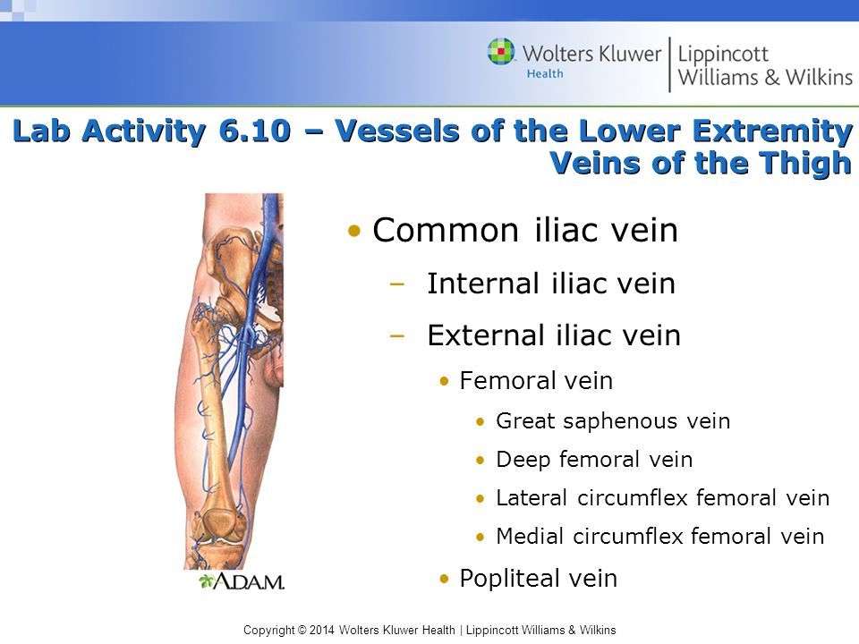 Copyright © 2014 Wolters Kluwer Health | Lippincott Williams & Wilkins Lab Activity 6.10 – Vessels of the Lower Extremity Veins of the Thigh Common il