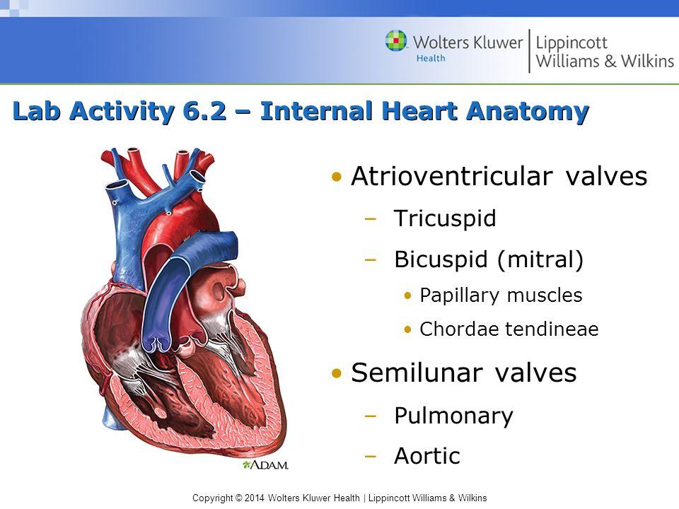 Copyright © 2014 Wolters Kluwer Health | Lippincott Williams & Wilkins Lab Activity 6.2 – Internal Heart Anatomy Atrioventricular valves –Tricuspid –B
