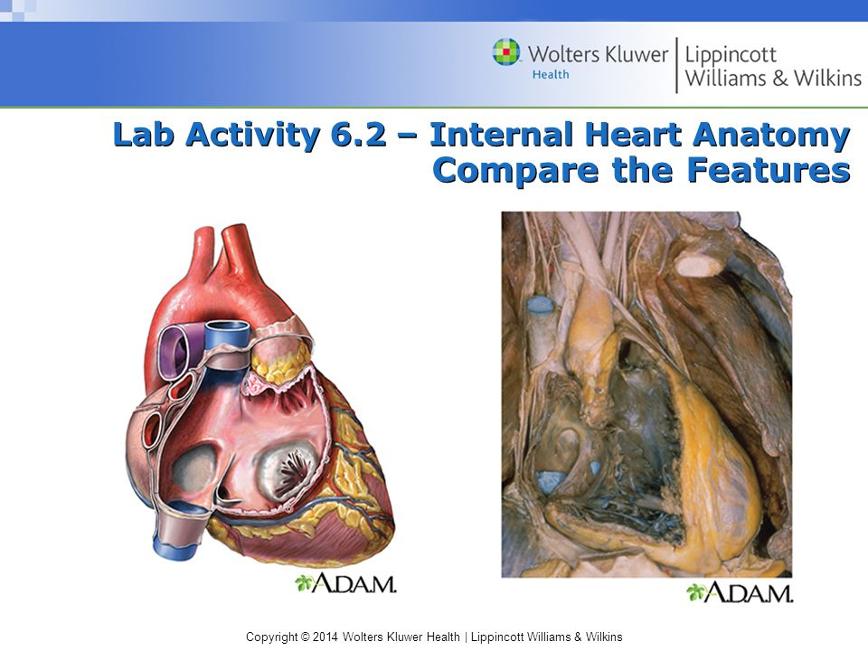 Copyright © 2014 Wolters Kluwer Health | Lippincott Williams & Wilkins Lab Activity 6.2 – Internal Heart Anatomy Compare the Features