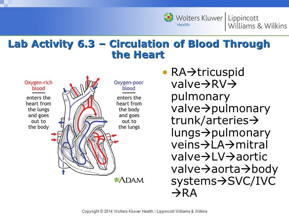 Copyright © 2014 Wolters Kluwer Health | Lippincott Williams & Wilkins Lab Activity 6.3 – Circulation of Blood Through the Heart RA  tricuspid valve