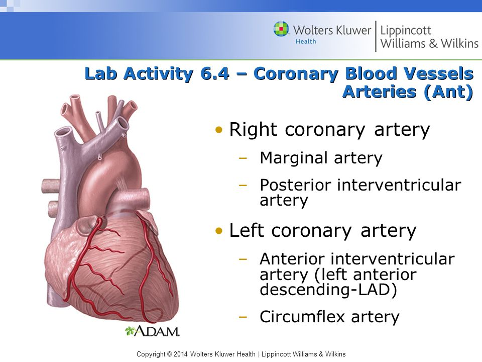 Copyright © 2014 Wolters Kluwer Health | Lippincott Williams & Wilkins Lab Activity 6.4 – Coronary Blood Vessels Arteries (Ant) Right coronary artery