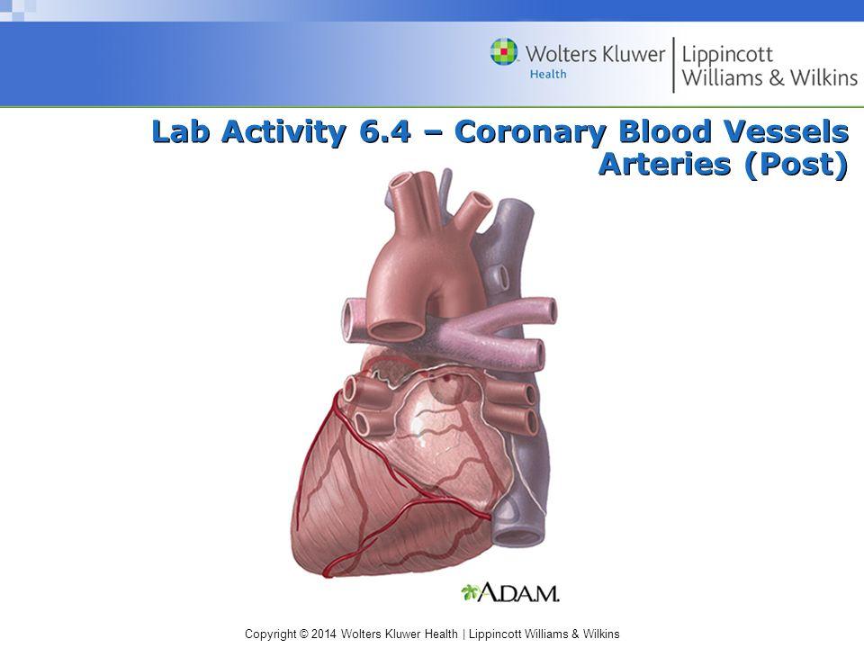 Copyright © 2014 Wolters Kluwer Health | Lippincott Williams & Wilkins Lab Activity 6.4 – Coronary Blood Vessels Arteries (Post)