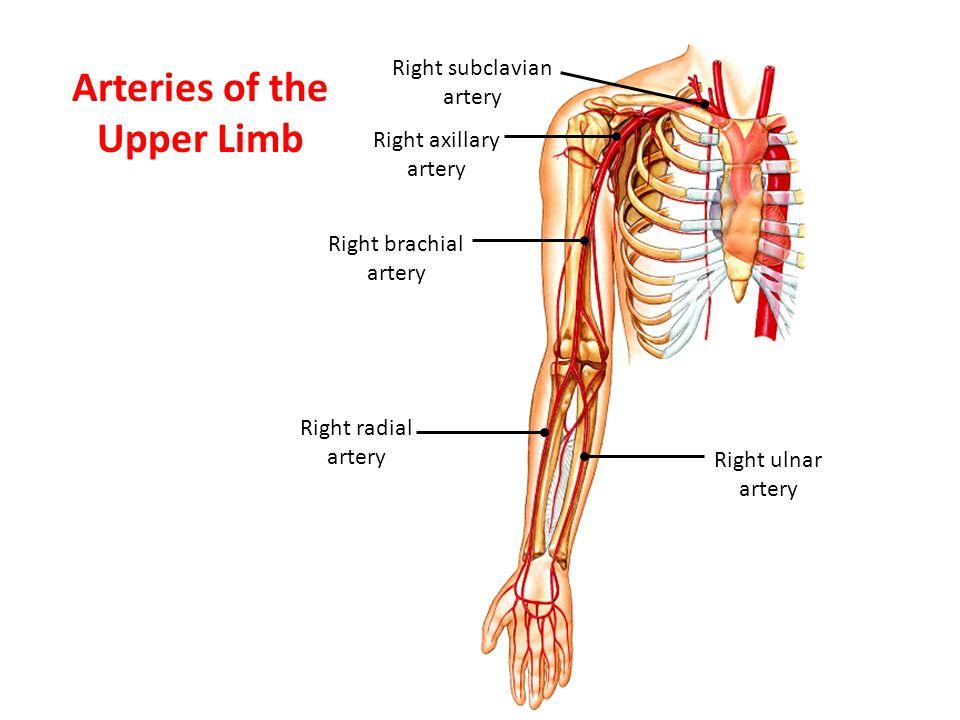 Right brachial artery Right radial artery Right ulnar artery Right axillary artery Right subclavian artery Arteries of the Upper Limb