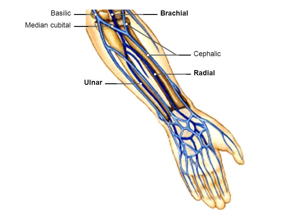 Radial Ulnar Median cubital Brachial Cephalic Basilic