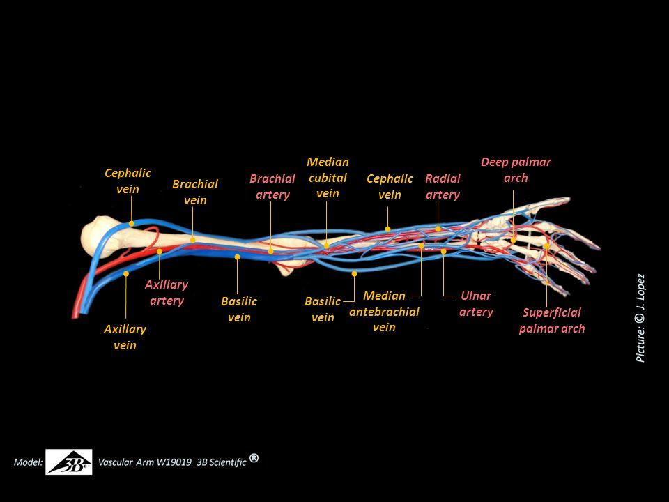 Cephalic vein Axillary vein Axillary artery Basilic vein Brachial vein Brachial artery Median cubital vein Radial artery Basilic vein Median antebrach
