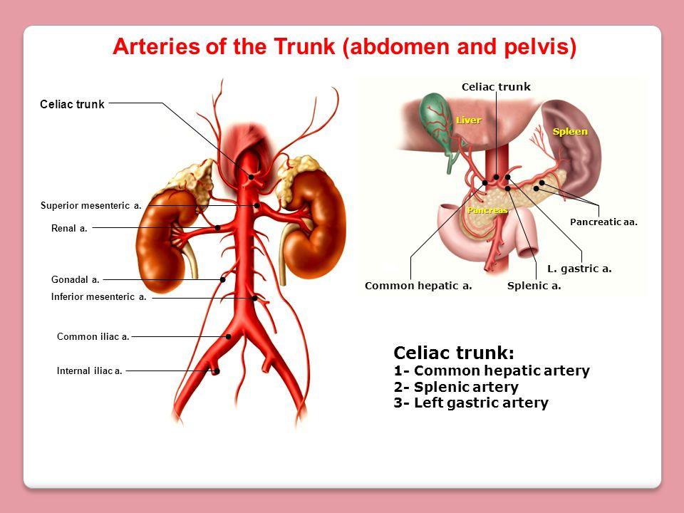 Spleen Liver Pancreas Arteries of the Trunk (abdomen and pelvis) Celiac trunk Superior mesenteric a. Common iliac a. Inferior mesenteric a. Internal i