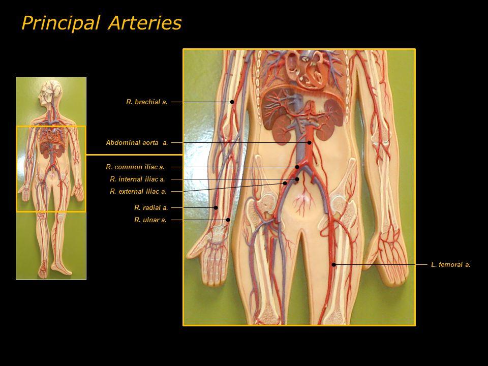 R. brachial a. R. radial a. R. ulnar a. Abdominal aorta a. R. common iliac a. R. external iliac a. R. internal iliac a. L. femoral a. Principal Arteri