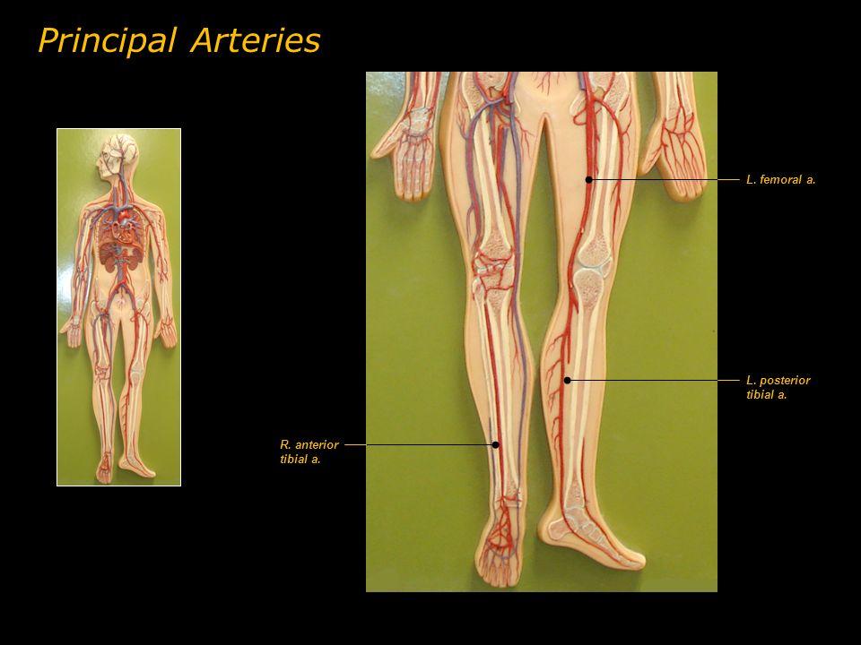 L. femoral a. L. posterior tibial a. R. anterior tibial a. Principal Arteries