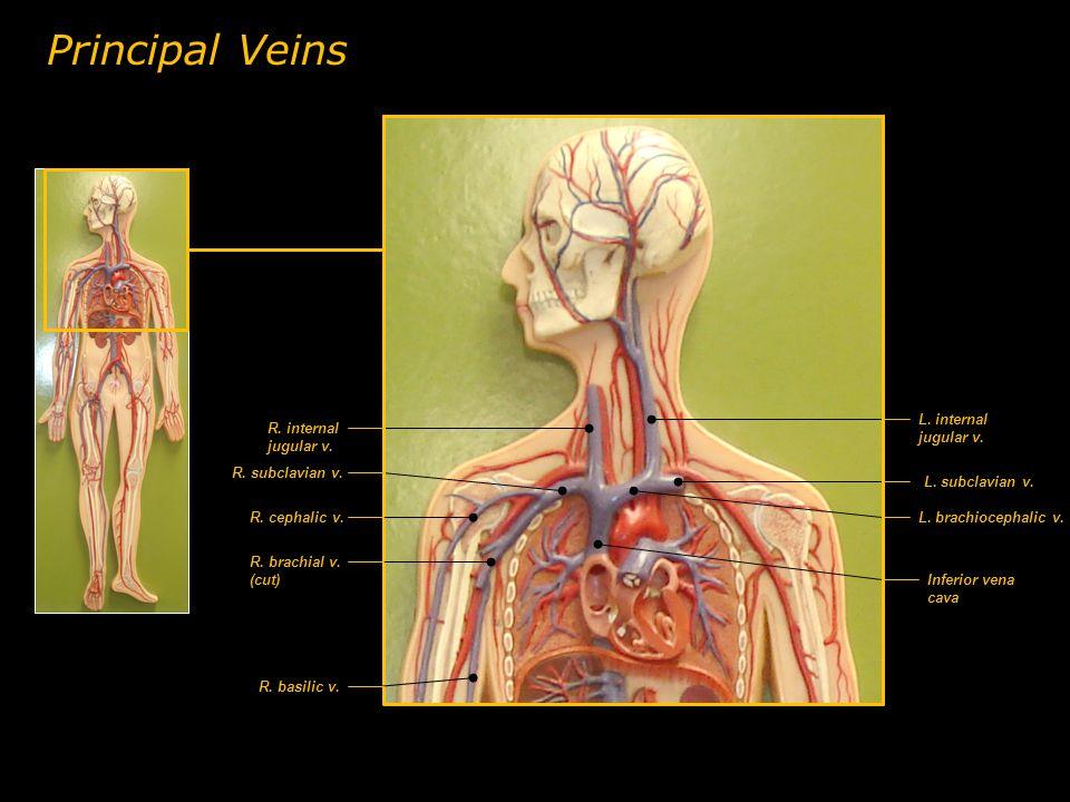 R. internal jugular v. L. internal jugular v. L. subclavian v. L. brachiocephalic v. R. subclavian v. Inferior vena cava R. cephalic v. R. brachial v.