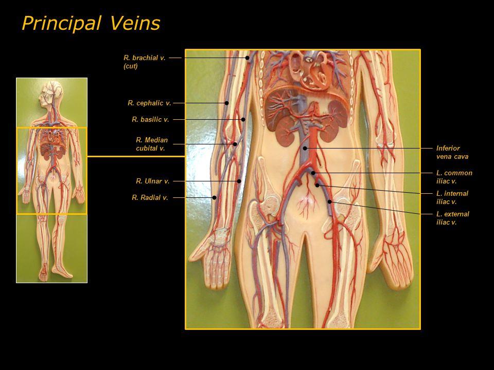 R. cephalic v. R. Radial v. R. Ulnar v. L. common iliac v. Inferior vena cava L. internal iliac v. Principal Veins R. basilic v. R. Median cubital v.