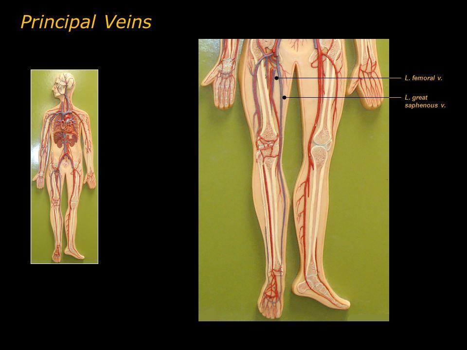 L. great saphenous v. Principal Veins L. femoral v.
