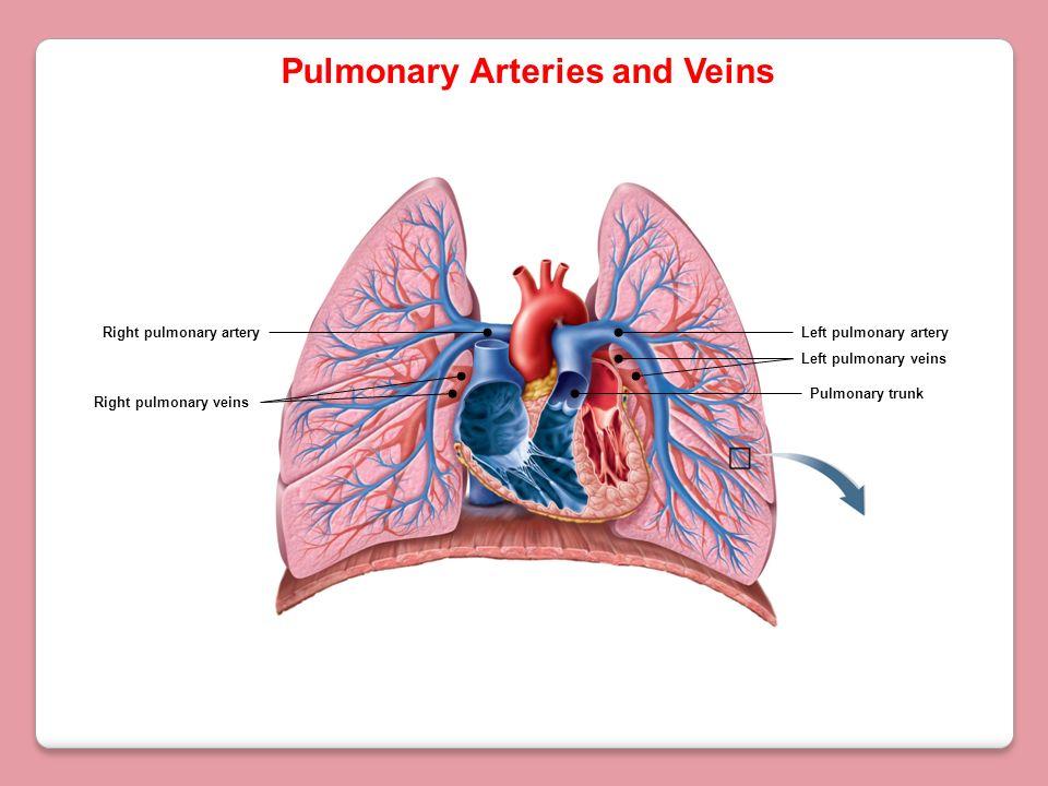 Pulmonary trunk Left pulmonary arteryRight pulmonary artery Right pulmonary veins Left pulmonary veins Pulmonary Arteries and Veins