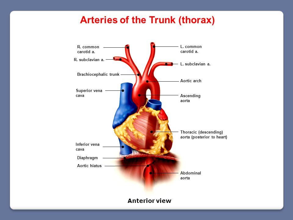 Diaphragm Aortic hiatus R. common carotid a. Brachiocephalic trunk Ascending aorta Aortic arch Thoracic (descending) aorta (posterior to heart) Abdomi