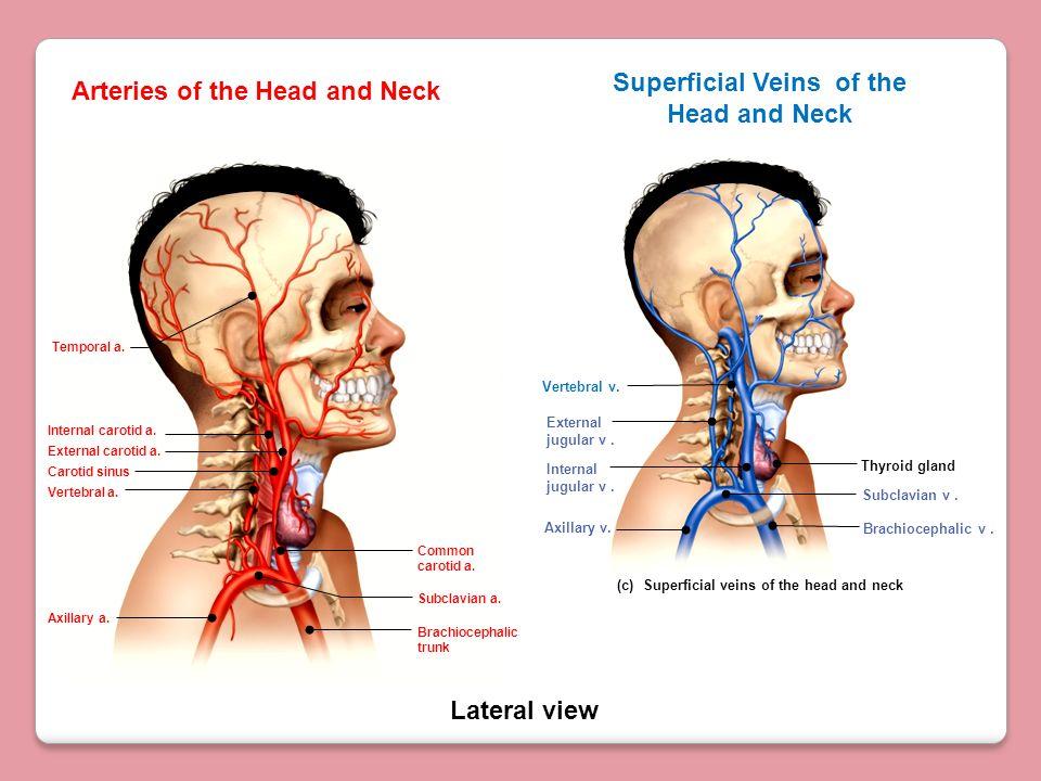 Lateral view Arteries of the Head and Neck Internal carotid a. Carotid sinus External carotid a. Vertebral a. Axillary a. Subclavian a. Common carotid