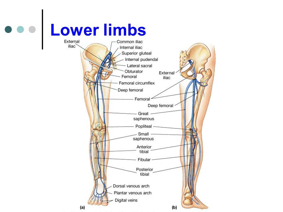 Lower limbs