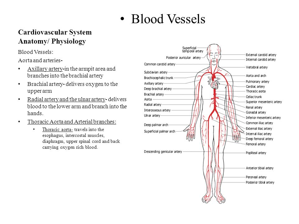 Großzügig Anatomy And Physiology Of Blood Vessels Zeitgenössisch ...