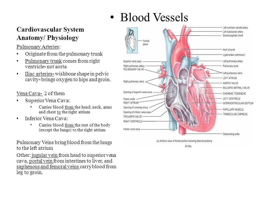Modern Anatomy Of Mitral Valve Composition - Anatomy Ideas - yunoki.info