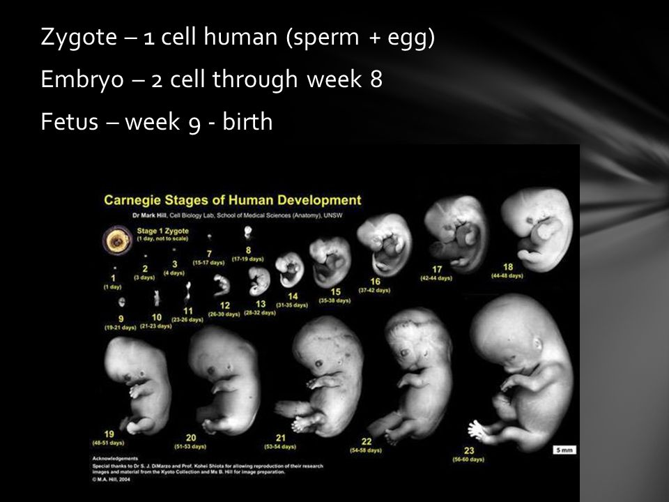Zygote – 1 cell human (sperm + egg) Embryo – 2 cell through week 8 Fetus – week 9 - birth