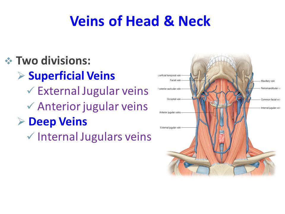 Veins of Head & Neck  Two divisions:  Superficial Veins External Jugular veins Anterior jugular veins  Deep Veins Internal Jugulars veins