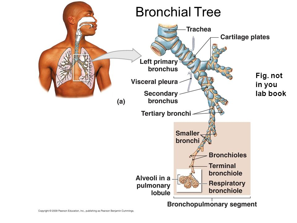 Bronchial Tree Fig. not in you lab book