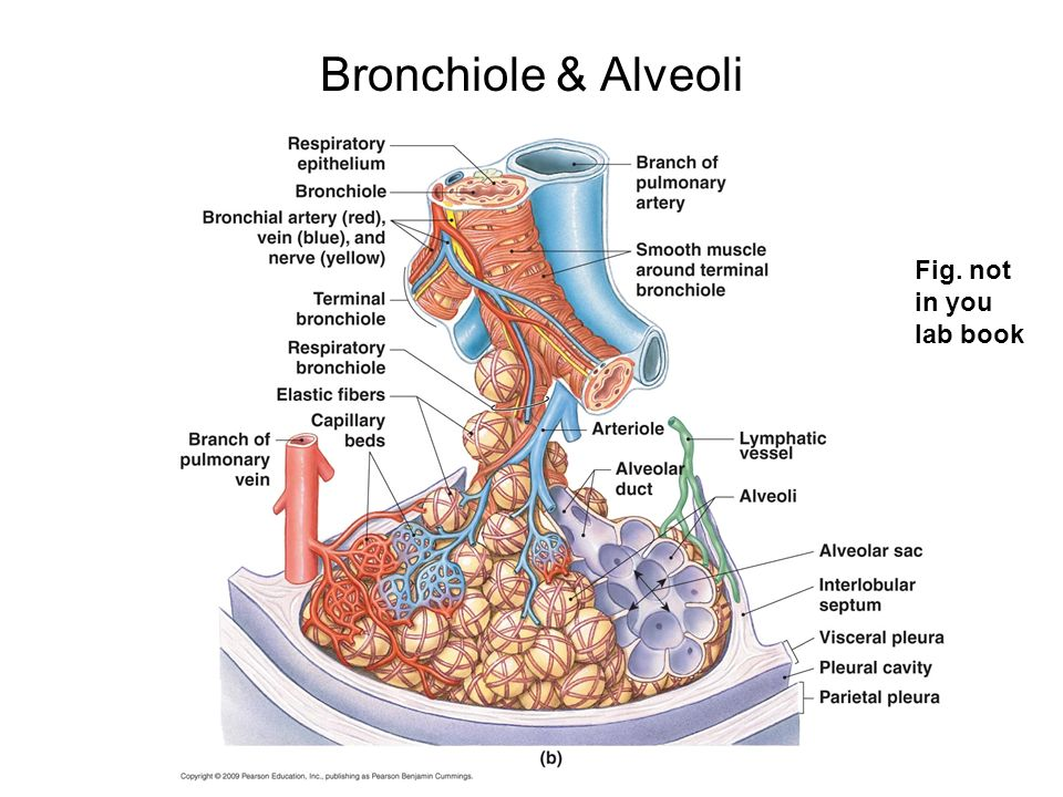 Bronchiole & Alveoli Fig. not in you lab book