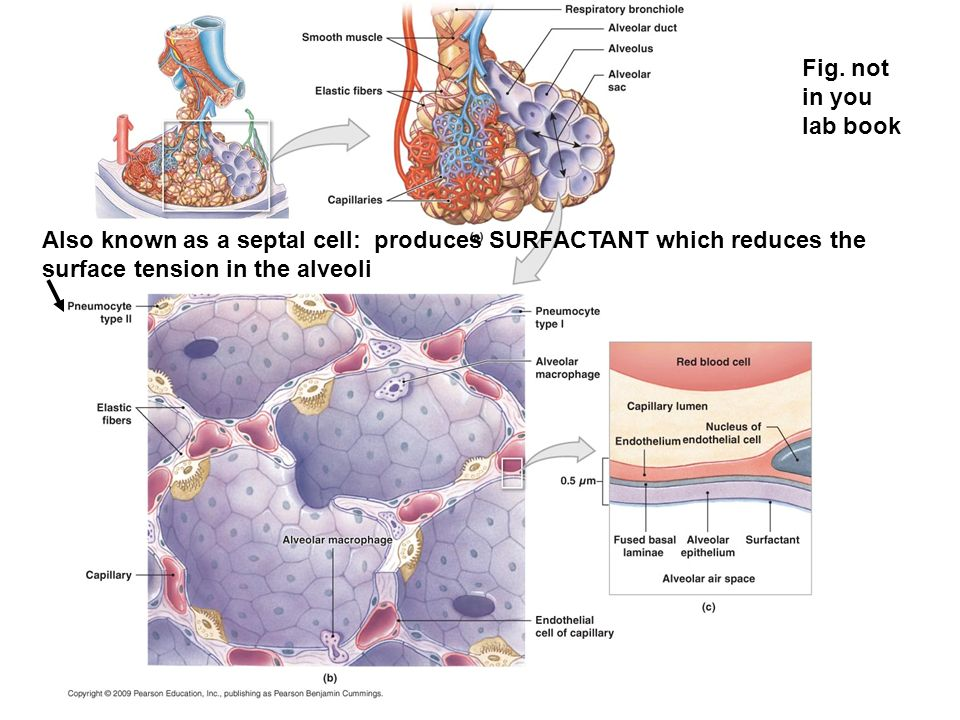 Also known as a septal cell: produces SURFACTANT which reduces the surface tension in the alveoli Fig.