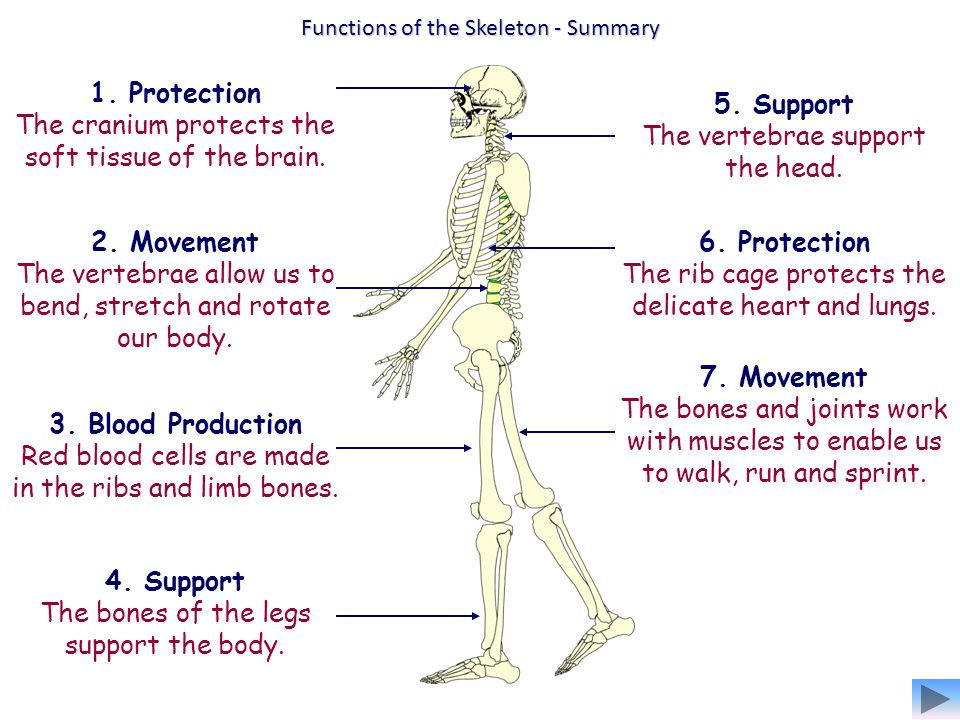 structure and function of the musculoskeletal The skeletal system is some major functions include: structure mobility - bones work in conjunction with skeletal muscle and other skeletal system.