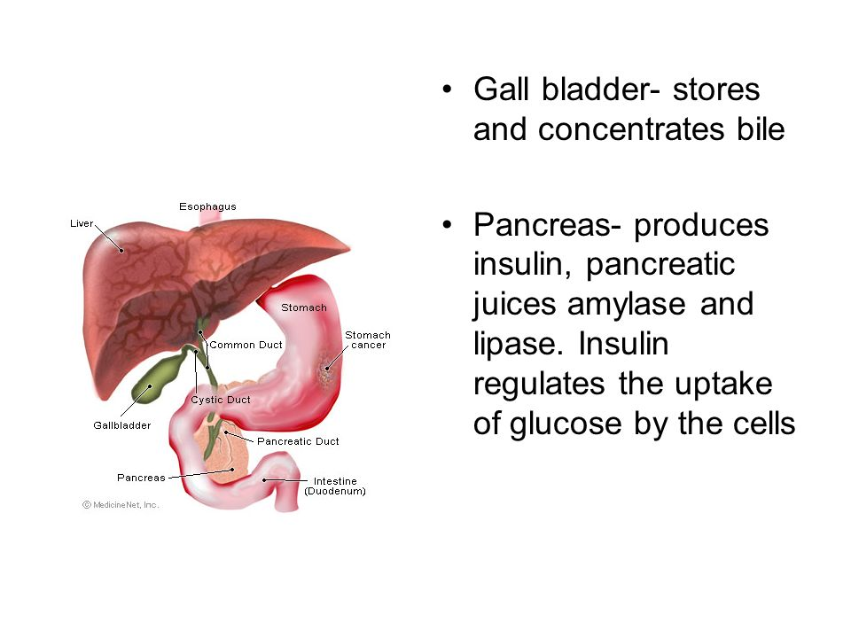 Gall bladder- stores and concentrates bile Pancreas- produces insulin, pancreatic juices amylase and lipase.