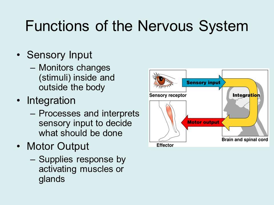 nervous system. - ppt download, Human body
