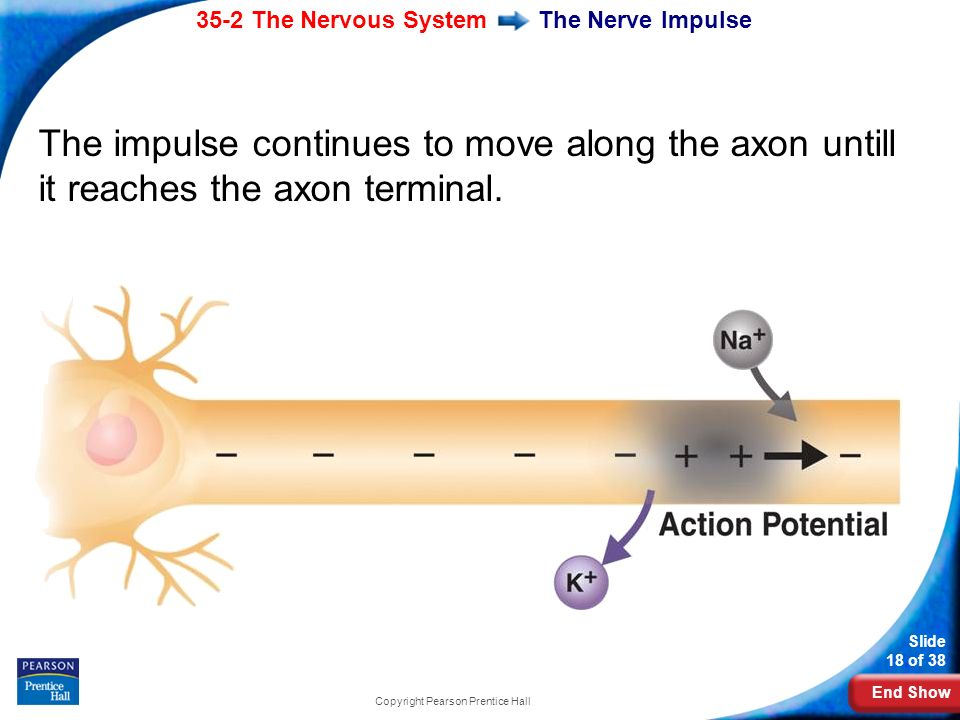 End Show 35-2 The Nervous System Slide 18 of 38 Copyright Pearson Prentice Hall The Nerve Impulse The impulse continues to move along the axon untill it reaches the axon terminal.