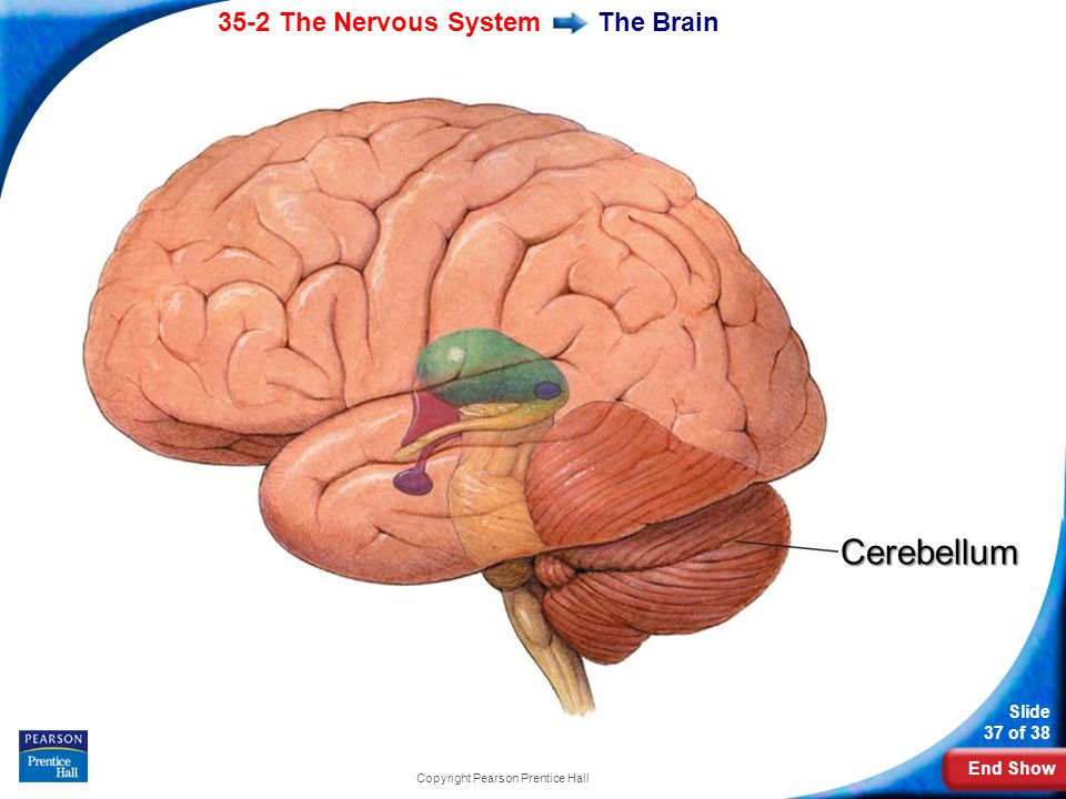 End Show 35-2 The Nervous System Slide 37 of 38 Copyright Pearson Prentice Hall The BrainCerebellum