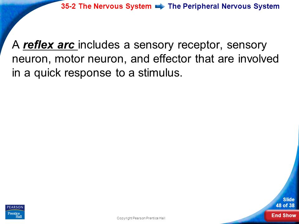 End Show 35-2 The Nervous System Slide 48 of 38 Copyright Pearson Prentice Hall The Peripheral Nervous System A reflex arc includes a sensory receptor, sensory neuron, motor neuron, and effector that are involved in a quick response to a stimulus.