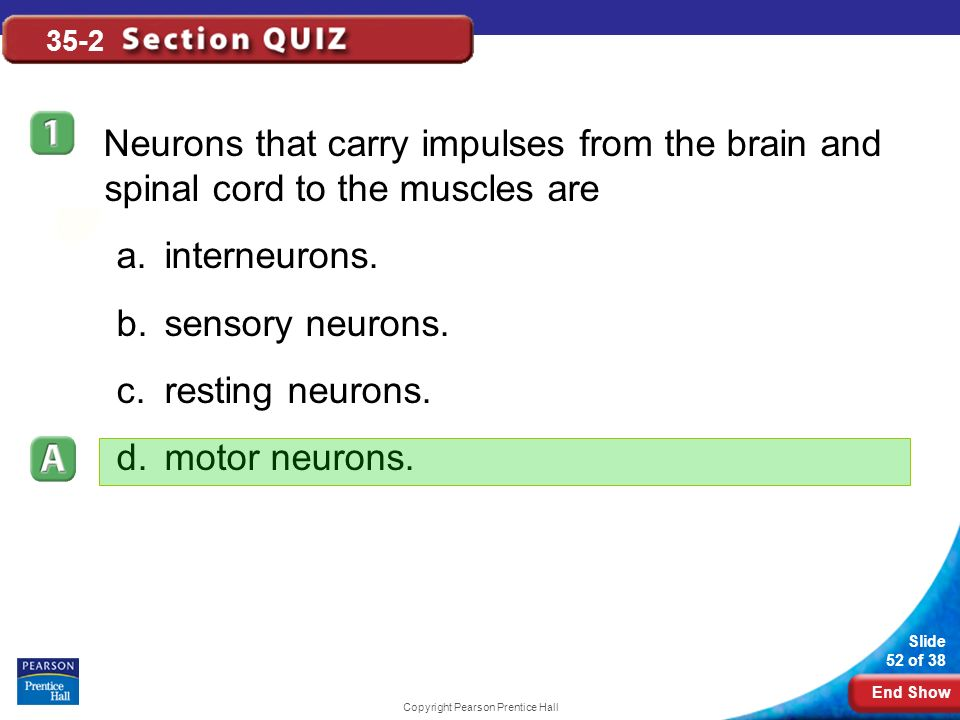 End Show Slide 52 of 38 Copyright Pearson Prentice Hall 35-2 Neurons that carry impulses from the brain and spinal cord to the muscles are a.interneurons.