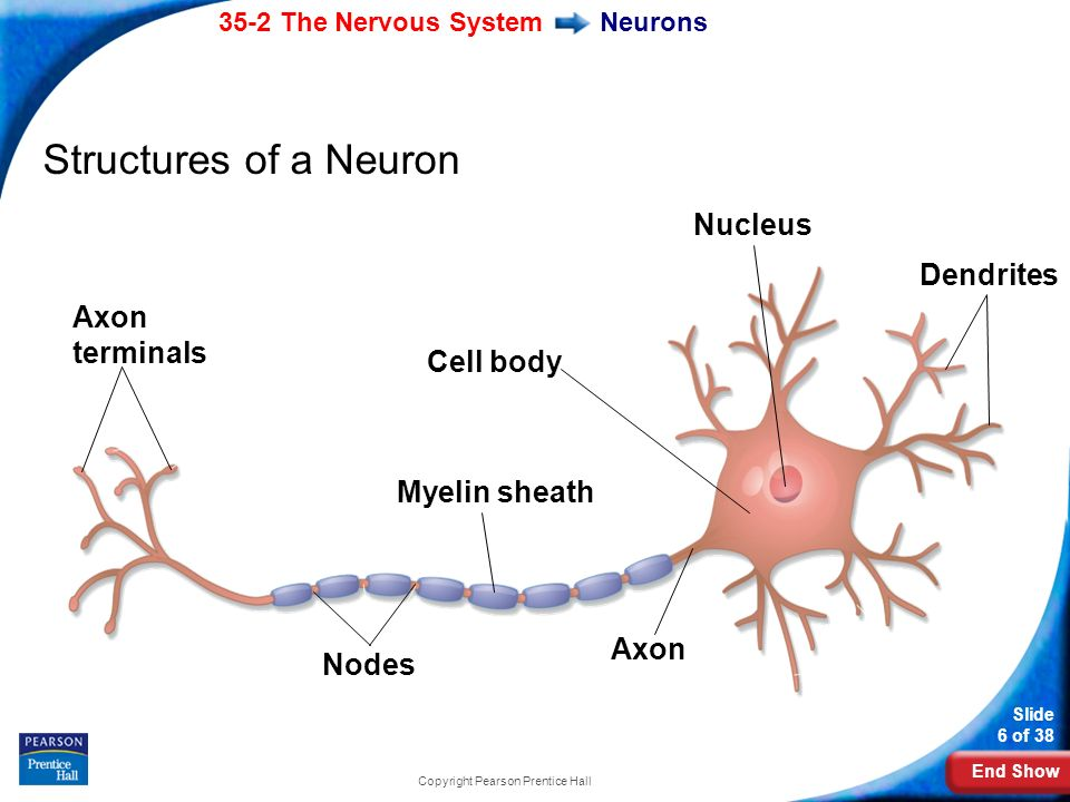 End Show 35-2 The Nervous System Slide 6 of 38 Copyright Pearson Prentice Hall Neurons Structures of a Neuron Axon terminals Myelin sheath Cell body Nodes Axon Dendrites Nucleus