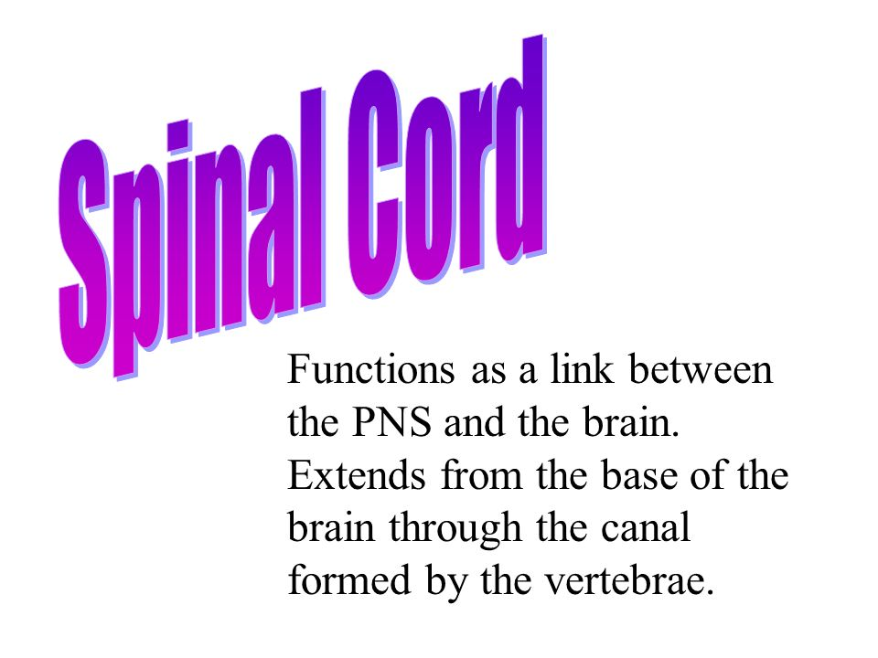 Functions as a link between the PNS and the brain.