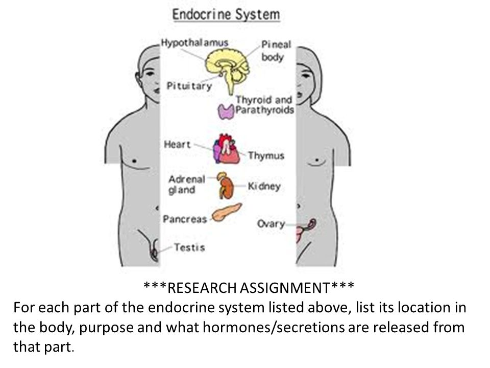 ***RESEARCH ASSIGNMENT*** For each part of the endocrine system listed above, list its location in the body, purpose and what hormones/secretions are released from that part.
