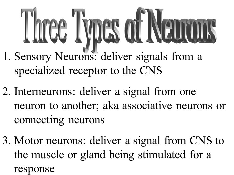 1.Sensory Neurons: deliver signals from a specialized receptor to the CNS 2.Interneurons: deliver a signal from one neuron to another; aka associative neurons or connecting neurons 3.Motor neurons: deliver a signal from CNS to the muscle or gland being stimulated for a response