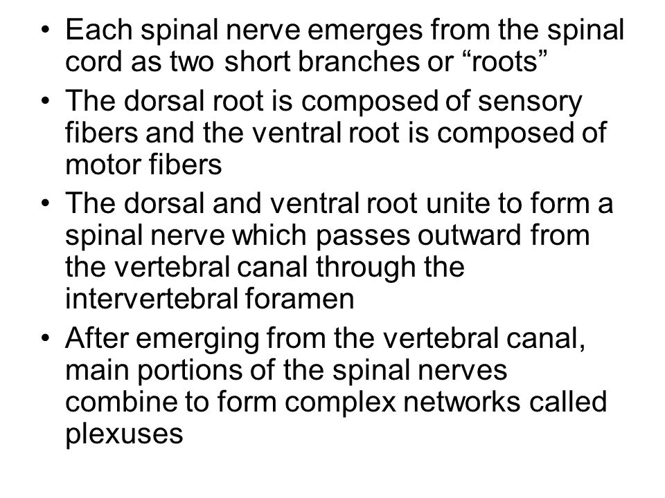 Each spinal nerve emerges from the spinal cord as two short branches or roots The dorsal root is composed of sensory fibers and the ventral root is composed of motor fibers The dorsal and ventral root unite to form a spinal nerve which passes outward from the vertebral canal through the intervertebral foramen After emerging from the vertebral canal, main portions of the spinal nerves combine to form complex networks called plexuses