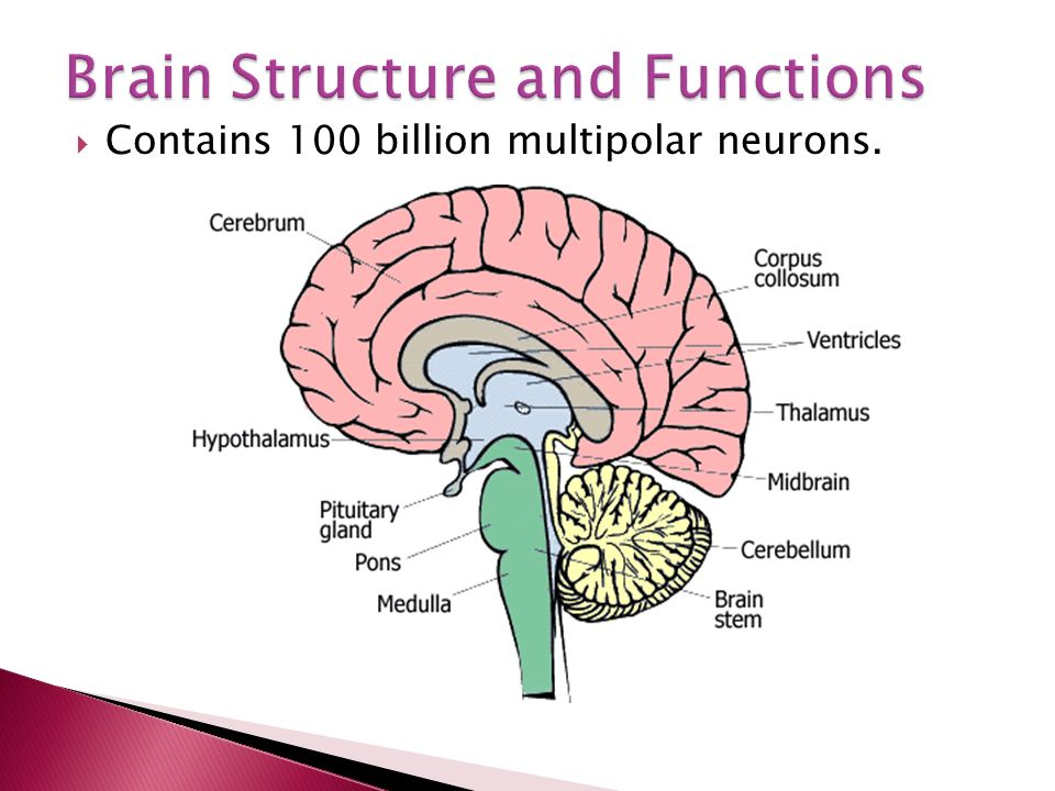  Contains 100 billion multipolar neurons.