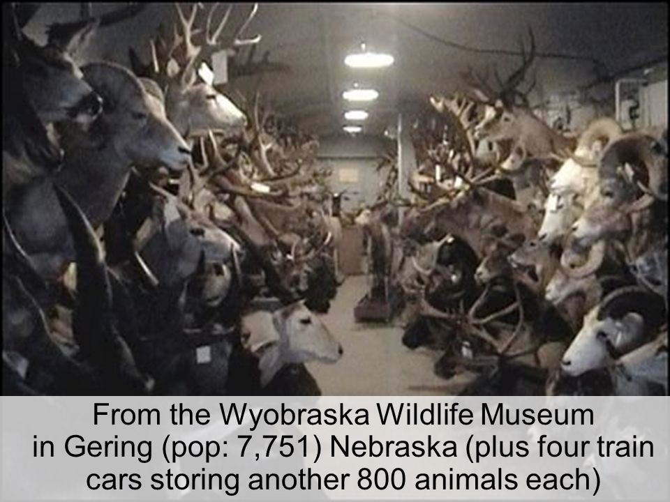 From the Wyobraska Wildlife Museum in Gering (pop: 7,751) Nebraska (plus four train cars storing another 800 animals each)