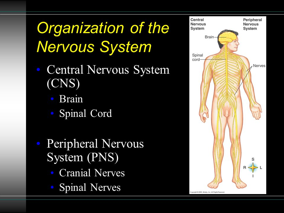 Organization of the Nervous System Central Nervous System (CNS) Brain Spinal Cord Peripheral Nervous System (PNS) Cranial Nerves Spinal Nerves