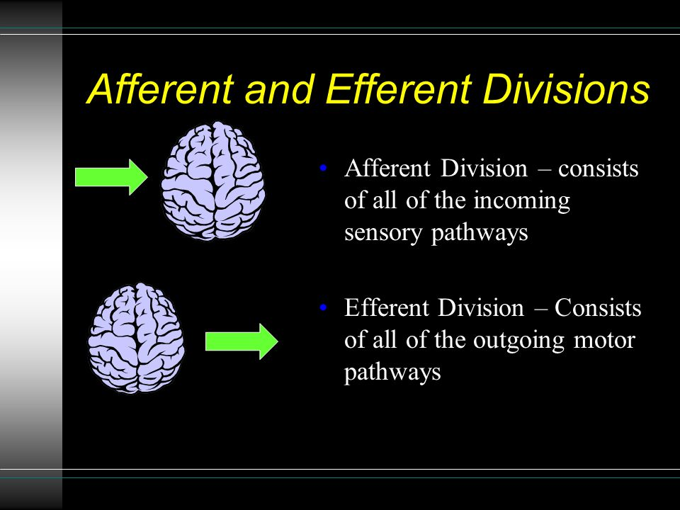 Afferent and Efferent Divisions Afferent Division – consists of all of the incoming sensory pathways Efferent Division – Consists of all of the outgoing motor pathways