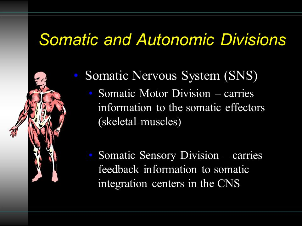 Somatic and Autonomic Divisions Somatic Nervous System (SNS) Somatic Motor Division – carries information to the somatic effectors (skeletal muscles) Somatic Sensory Division – carries feedback information to somatic integration centers in the CNS
