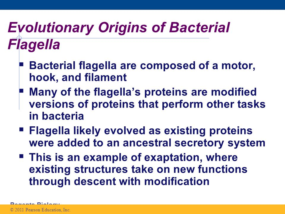 Regents Biology Evolutionary Origins of Bacterial Flagella  Bacterial flagella are composed of a motor, hook, and filament  Many of the flagella's proteins are modified versions of proteins that perform other tasks in bacteria  Flagella likely evolved as existing proteins were added to an ancestral secretory system  This is an example of exaptation, where existing structures take on new functions through descent with modification © 2011 Pearson Education, Inc.