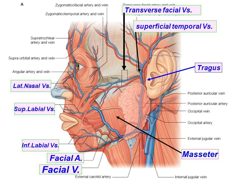 Attractive Parotid Region Anatomy Adornment - Image of internal ...