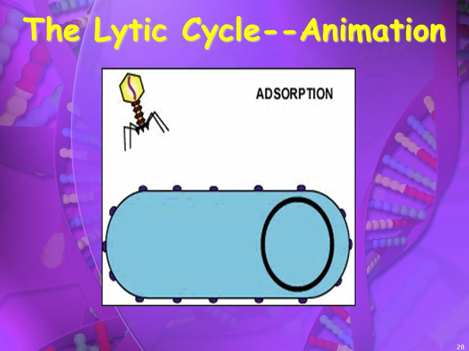 28 The Lytic Cycle--Animation