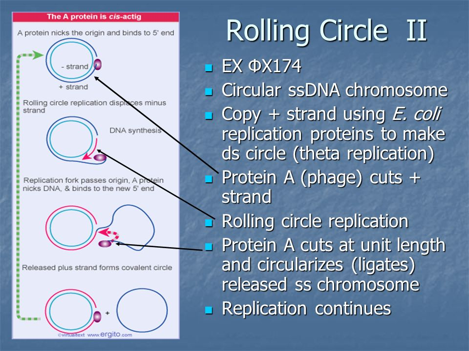 Replication chapter 7 the problem dna is maintained in a rolling circle ii ex x174 ex x174 circular ssdna chromosome circular ssdna chromosome copy strand pronofoot35fo Choice Image