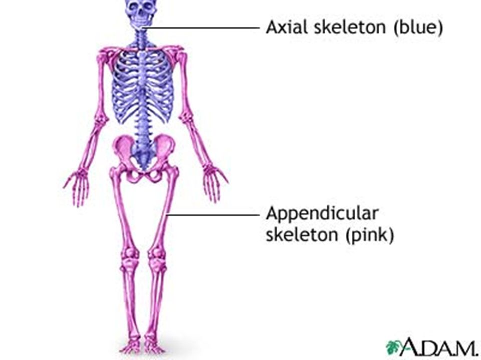 Nice Axial Definition Anatomy Gift - Anatomy And Physiology Biology ...