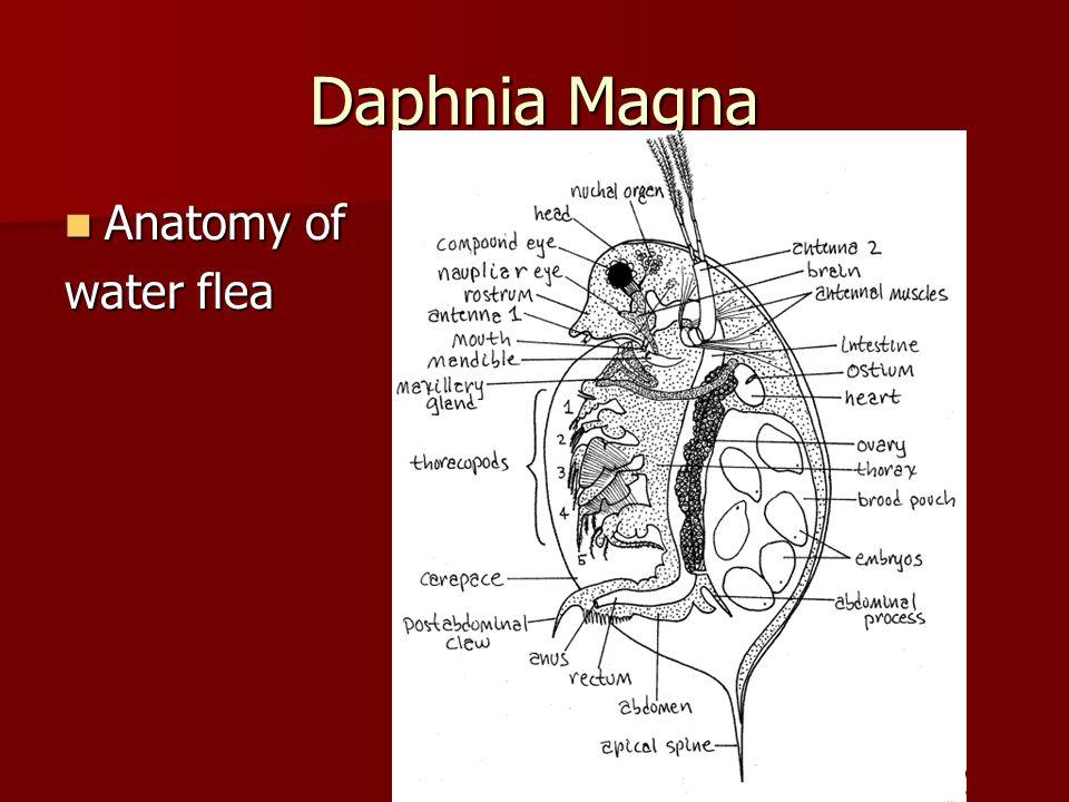Nice Daphnia Magna Anatomy Illustration - Anatomy And Physiology ...