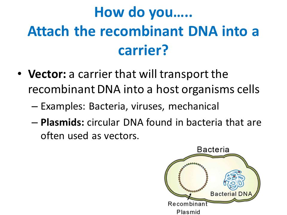 How do you….. Attach the recombinant DNA into a carrier.